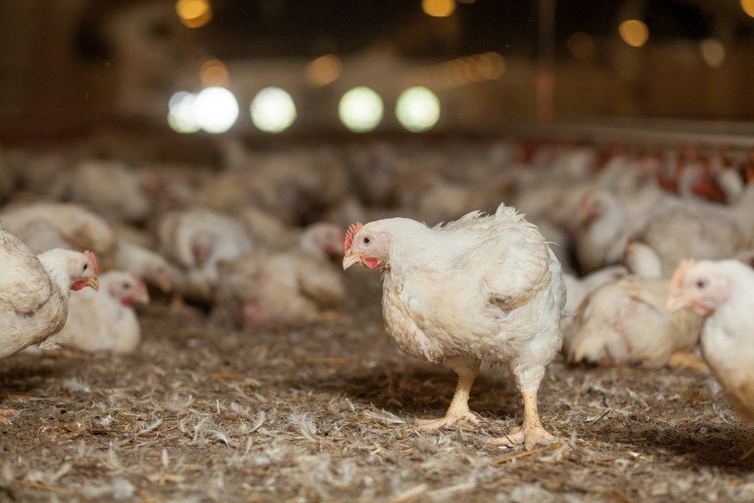 Крупнейшая птицефабрика на Западной Украине наращивает производство в два раза