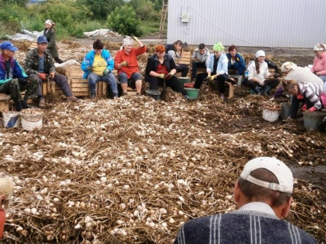 В Украине появится первый семенной завод чеснока